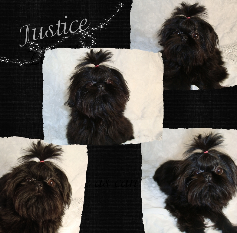 Tiny Tot Imperial Shih Tzu Black Beauty Justice
