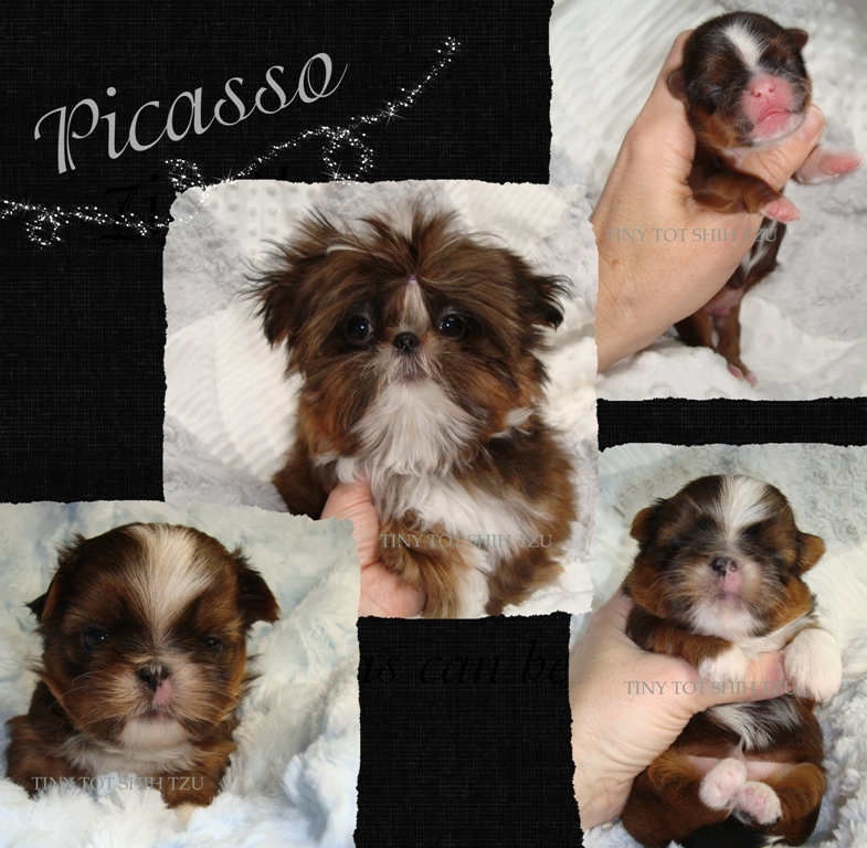 Tiny Tot Imperial Shih Tzu Tiny Imperial Shih Tzu Picasso