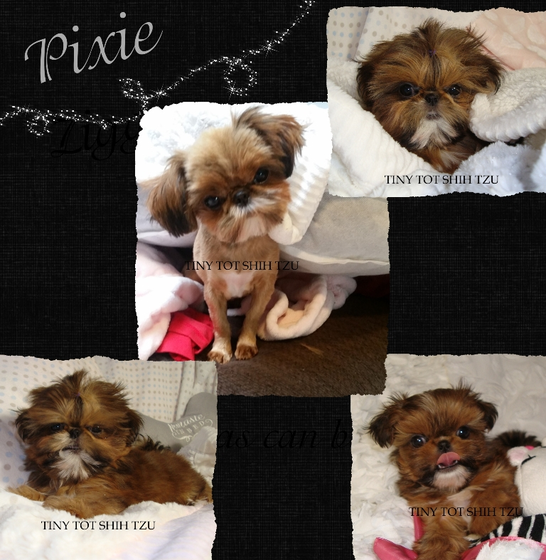 Tiny Tot Imperial Shih Tzu Pocket Puppy Pixie