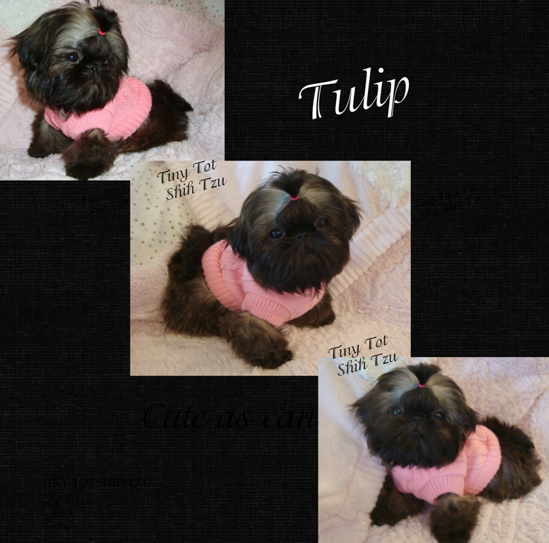 Teeny Tiny Imperial Shih Tzu Puppy Tulip