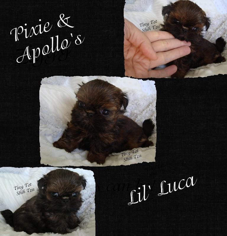 Teeny Tiny Tiny Tot Imperial Shih Tzu Lil Luca